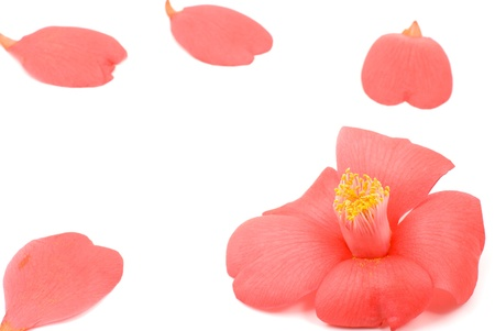 japonica: Close up of Red wild camellia flower(Camellia japonica) and petals on a white background Stock Photo