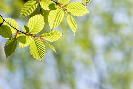 hornbeam: Fresh green Chonowskis hornbeam leaves in forest