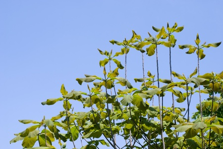Fresh green Japanese whitebark magnolia leaves and blue sky photo