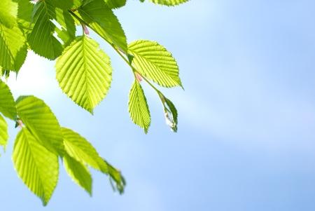 hornbeam: Bright green leaves of the Chonowskis hornbeam tree in early summer
