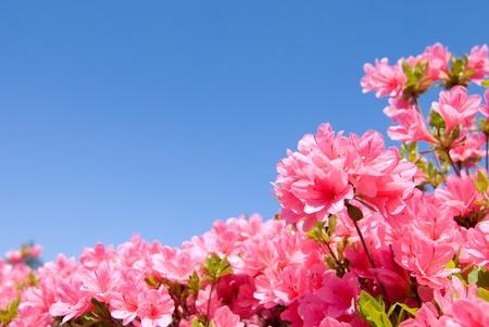 完全に咲く明るいピンクのツツジの花と青空 写真素材