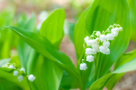 Convallaria majalis(lily of the valley) flower and bright green leaf photo