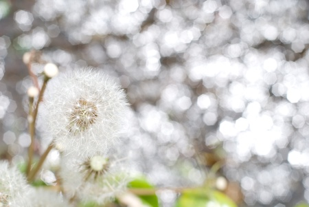 pappus: Dandelion blowball and the sparkled on the brook