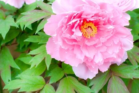 peony tree: Albero di peonia rosa brillante fiori e foglie