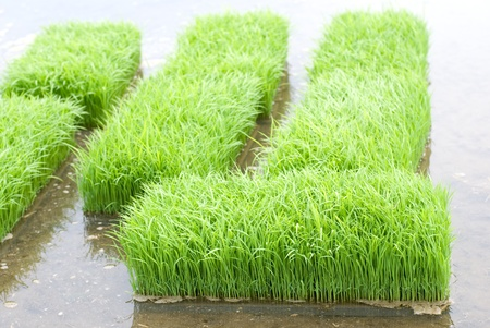 Before planting rice sprouts in the paddy field from contry of Kanagawa Japan Stock Photo - 12052186