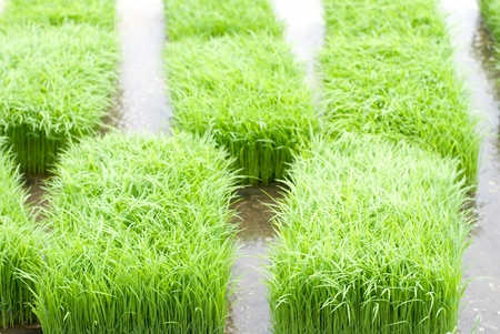 Before planting rice sprouts in the paddy field from contry of Kanagawa Japan Stock Photo - 12052185