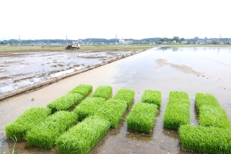 Before planting rice sprouts in the paddy field from contry of Kanagawa Japan Stock Photo - 12046404