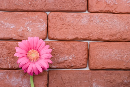 Gerbera daisy flower bloom in front of the brick wall photo