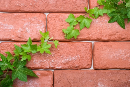 Ivy vines crawling on the brick wall photo