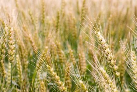 Ear of wheat close up in farm field photo