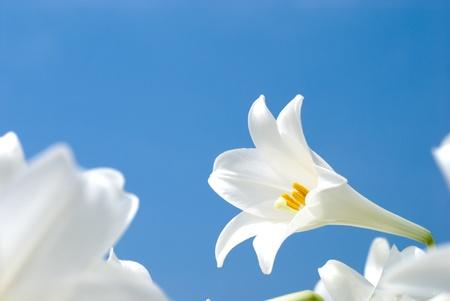 青空のテッポウユリの咲く 写真素材