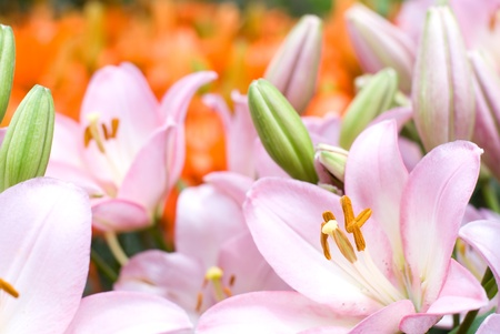 deep orange: Pink asiatic lily bloom in front of deep orange lily background