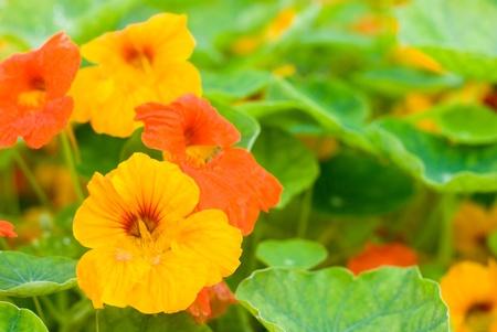 明るいオレンジ色のキンレンカの花と初夏の葉 写真素材