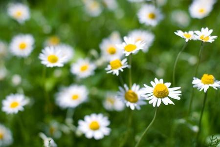 フラワー ガーデンのローマン ・ カモミールの花の満開