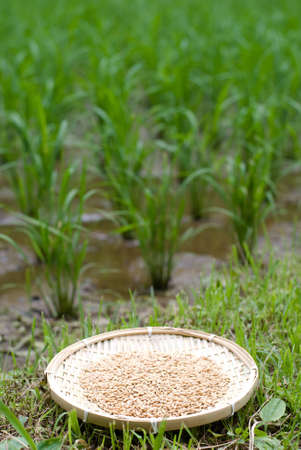 Rice husk on the bamboo sieve in front of paddy field Stock Photo - 12670836