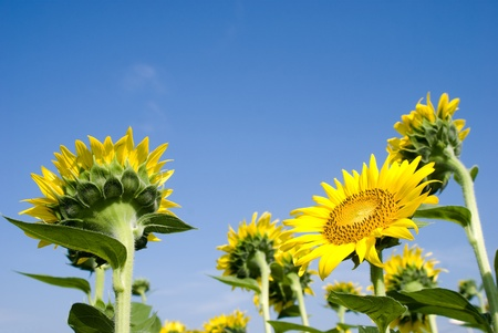 One forward sunflower in several backward sunflower photo