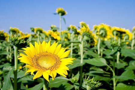 One forward sunflower in backward sunflower field photo