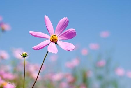 One pink cosmos in flower field under blue sky photo