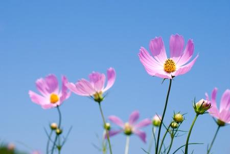 Pink cosmos flower field under blue sky photo