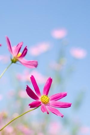Bright pink cosmos flower field under blue sky photo