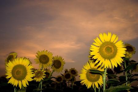 Sunflower field at sunset under orange sky photo