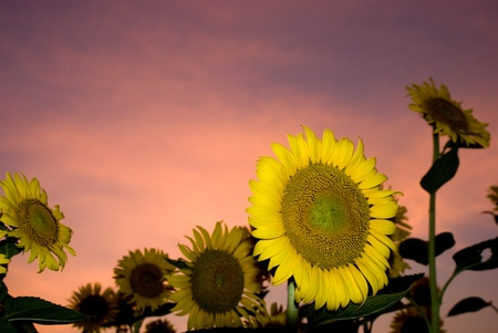 Several sunflower at sunset under orange sky photo