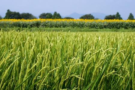 夏のひまわり畑の前で田んぼ