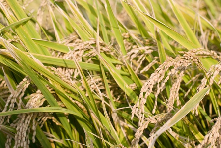 Harvest season of rice ear to turning yellow Stock Photo - 12917086