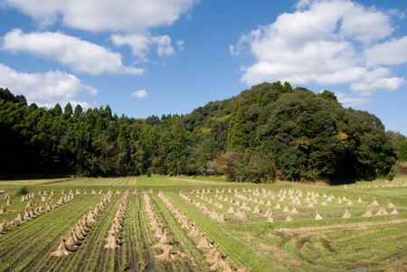 After harvest rice field near the forest in rural Japan photo