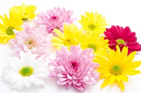 Various chrysanthemum flower on a white background