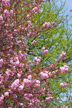 Double cherry blossoms in front of fresh green photo