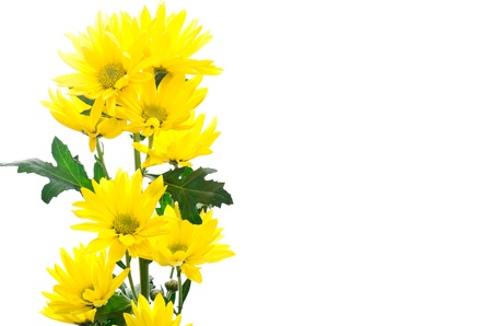 Bright yellow chrysanthemum flowers in left side on a white background photo