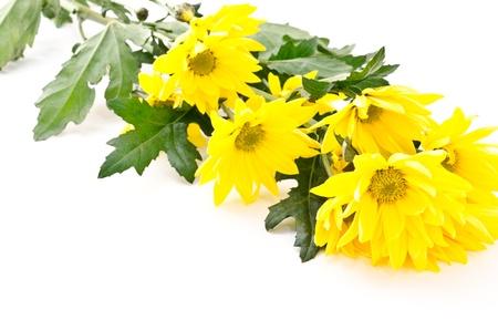 Bright yellow chrysanthemum flowers sideways on white background Stock Photo - 13046983