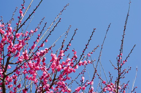 ume: Pink japanese apricot blossoms under blue sky