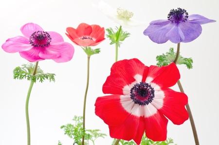 anemone flower: Fiore rosso anemone davanti a quattro fiore anemone foderato Archivio Fotografico