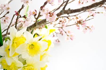 early blossoms: Cherry blossoms and yellow narcissus arranged in early spring