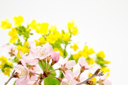 cole: I fiori di ciliegio di fronte a Cole fiore sfocatura su bianco Archivio Fotografico