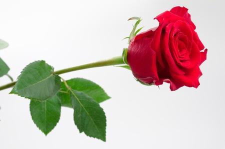 Een roze bloem en blad op grijze gradatie achtergrond Stockfoto