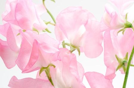 光のピンクの甘いエンドウ豆の花のクローズ アップ