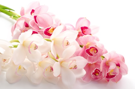Sideways red violet and white orchid flowers on white background