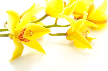 Sideways yellow orchid flowers on white background stock photo sideways yellow orchid flowers on white background stock photo 14216673 mightylinksfo