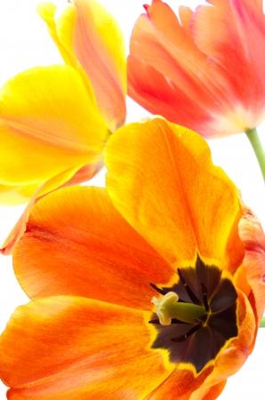 Sideways full blooming gradient warm color tulip flower photo