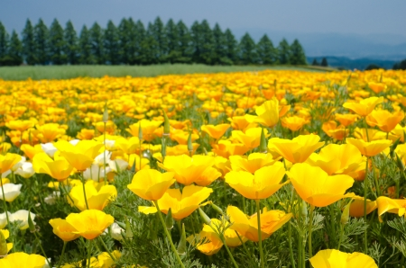 Bright yellow california poppy flower field in early summer photo