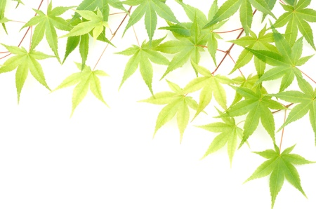 diagonally: Green maple leaves lined up diagonally on white background in the upper right corner Stock Photo