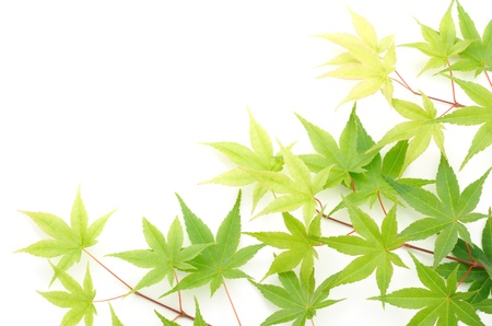 diagonally: Green maple leaves lined up diagonally on white background in the lower right corner