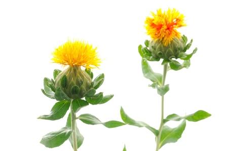 白い背景の上の 2 つのベニバナ花