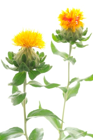 safflower: Two safflower flowers on a white background in vertical position