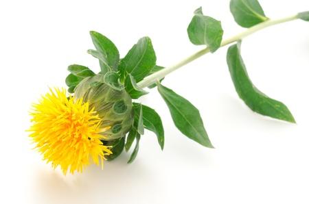 白い背景の上の横の 1 つベニバナ花 写真素材