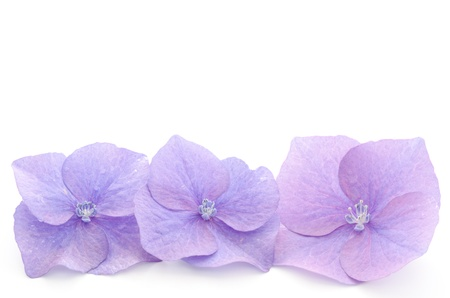 Parts of the purple hydrangea flower on a white background 스톡 콘텐츠