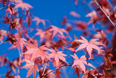 palmatum: Turn red color of autumn maple leaves  Acer palmatum  under blue sky